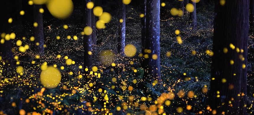 Fireflies in a cedar forest in Tamba, Hyogo Prefecture, Japan. (photo: Nori Yuasa/Getty Images)