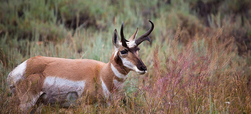 A pronghorn in Yellowstone national park, Wyoming. (photo: VW Pics/Universal Images Group/Getty Images)
