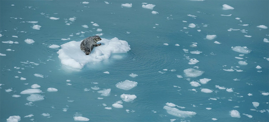 A harbour seal on an ice floe in Glacier Bay, Alaska. A new study shows that the climate crisis has warmed waters, changing ecosystems and crippling sea ice growth. (photo: Janette Hill/robertharding/Getty Images Plus)