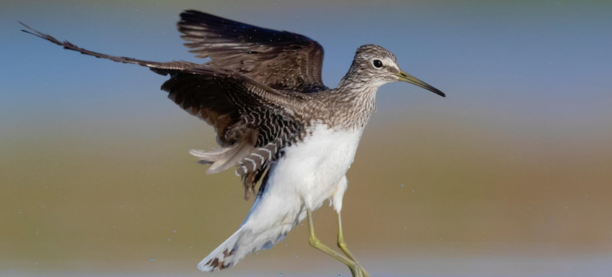 Green sandpipers are a mid-summer visitor to Somerset. (photo: Saverio Gatto/Alamy)
