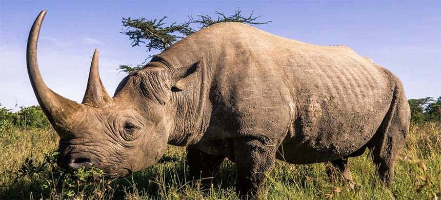 Black rhinoceros in the African Savannah. (photo: Pierre-Yves Babelon/Moment/Getty Images)