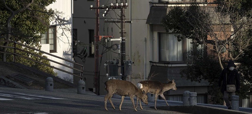 Sika deer cross a road in Nara, Japan. The animals have been wandering through city streets and subway stations. (photo: Tomohiro Ohsumi/Getty Images)