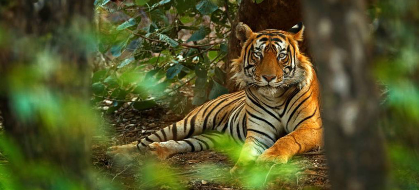 Tiger in Ranthambore National Park in India. (photo: National Geographic)
