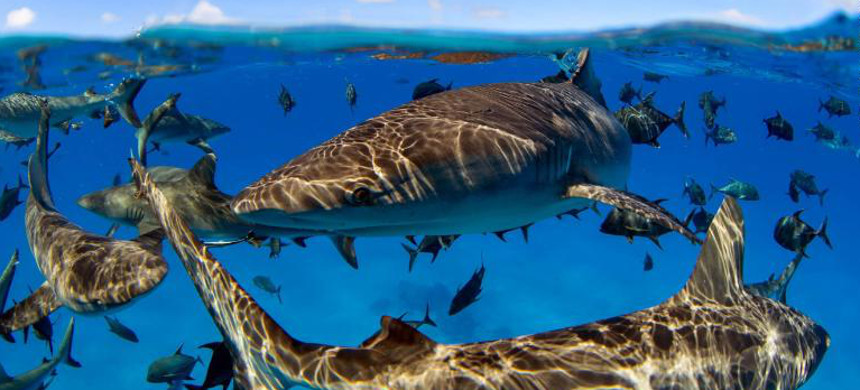 Sharks and large marine predators have experienced significant decline, but evidence shows their stocks can also be rebuilt with the appropriate protection measures. (photo: Manu San Felix/National Geographic)