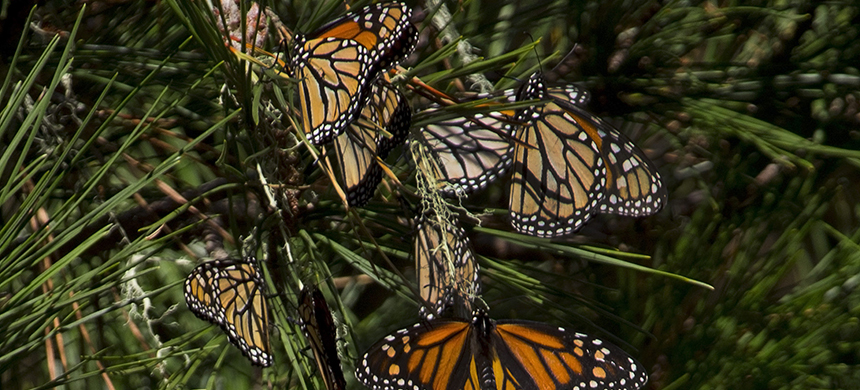Monarchs Clustering on Monterey Pine in California. (photo: Carly Voight/Xerces Society)