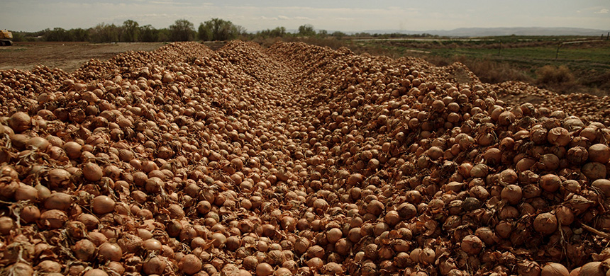 A field of onions in Idaho waiting to be buried. Americans eat many more vegetables when meals are prepared for them in restaurants than when they cook for themselves. (photo: Joseph Haeberle/NYT)
