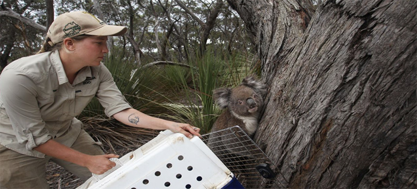 A koala affected by bushfires is released back on Kangaroo Island in Australia on February 21, 2020. (photo: Lisa Maree Williams/Getty Images)
