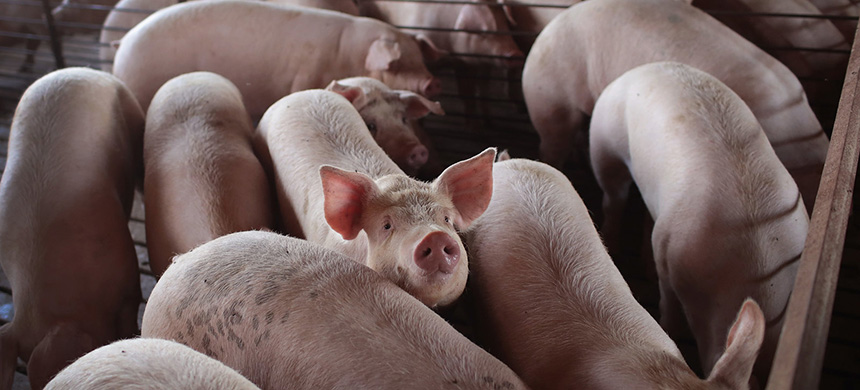 With meatpacking plants reducing processing capacity nationwide, U.S. hog farmers are bracing for an unprecedented crisis: the need to euthanize millions of pigs. (photo: Scott Olson/Getty Images)