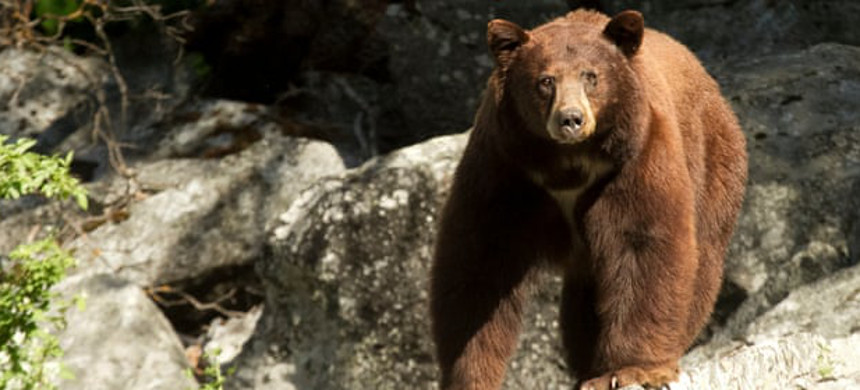 'The bear population has quadrupled,' said one worker at a Yosemite hotel. (photo: Jason J. Rodriguez/Getty)
