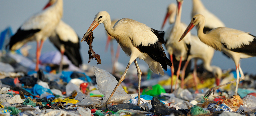 White storks forage at a landfill. (photo: Jasper Doest/National Geographic)