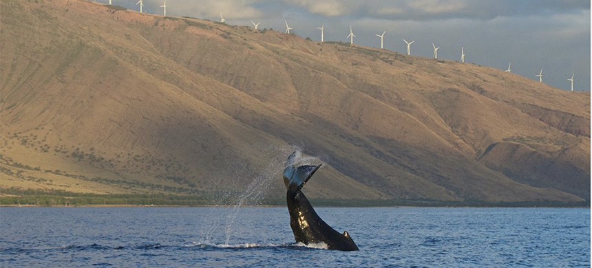 A baby humpback whale tail slaps in the Pacific Ocean in front of the West Maui Mountains. (photo: Getty Images)