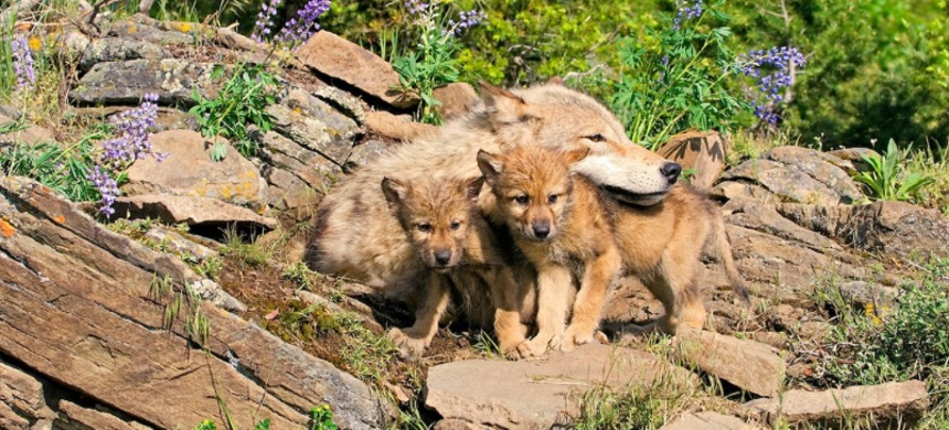 Wolf pups with their mother at their den site. (photo: Getty)