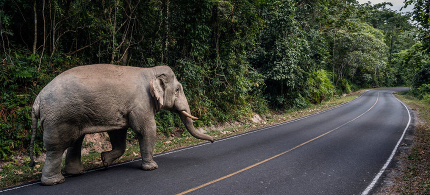 A wild elephant on the road in Khao Yai National Park, Thailand, in November. (photo: Adam Dean/The New York Times)