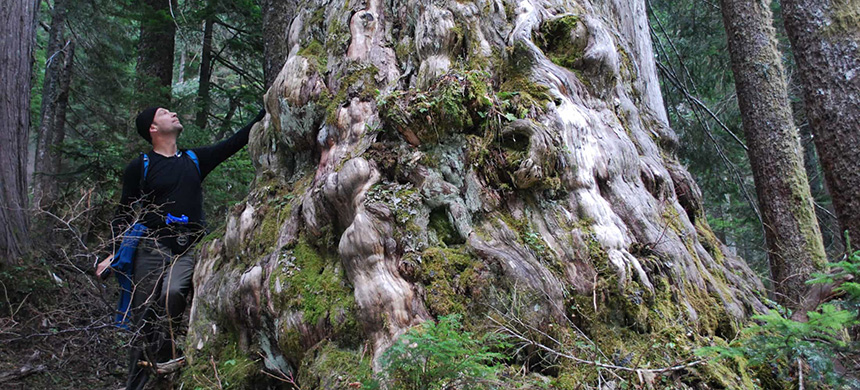 An ancient yellow cedar in an area of Dakota Ridge that's listed as a new cutblock by BC Timber Sales. (photo: Elphinstone Logging Focus/The Narwhal)