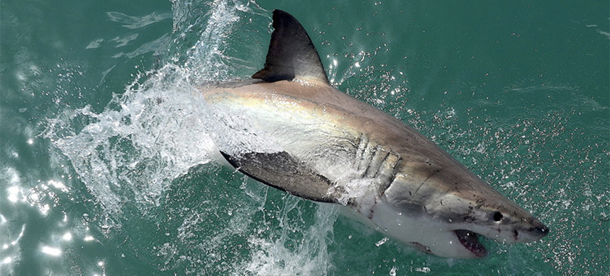 White shark, Gansbaai: Ten years ago, there were an estimated 300 breeders in the white shark the population. The minimum to avoid inbreeding is thought to be around 500. (photo: Olga Ernst via Wikimedia)