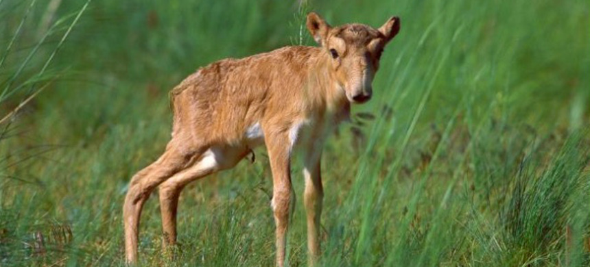 Saiga antelope (pictured, a calf in Russia) roam the steppes, or arid grasslands, of Eastern Europe and most of Central Asia. (photo: Igor Shipilenok/Minden Pictures)