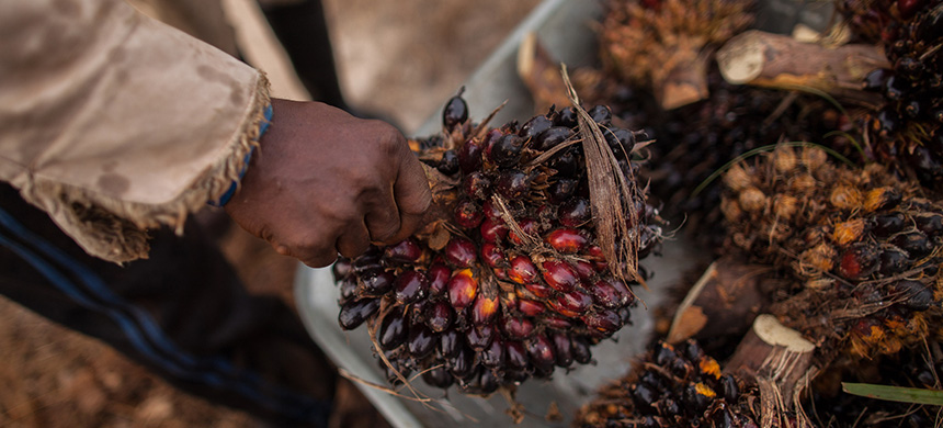 Palm oil is the world's most popular vegetable oil, used in multitudes of products from cookies and candy to toothpaste and cosmetics. (photo: Maja Hitij/Mongabay)