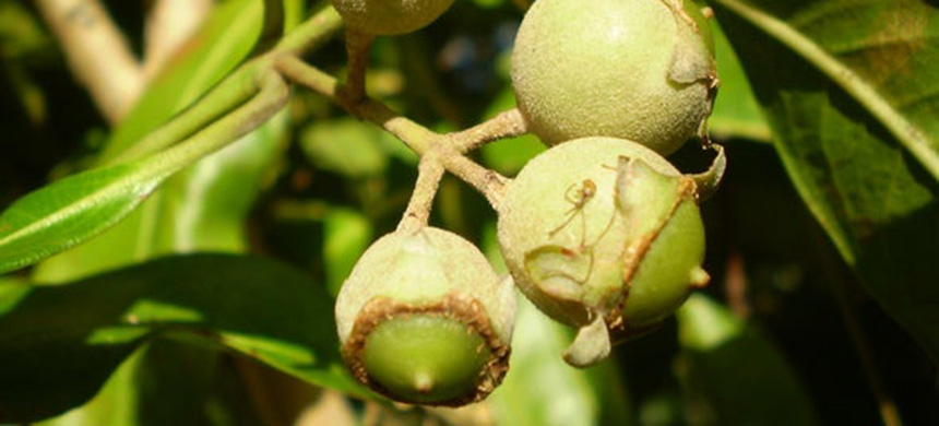 Australia's native guava was the hardest hit by the fungus. (photo: Wikimedia/Scientific American)