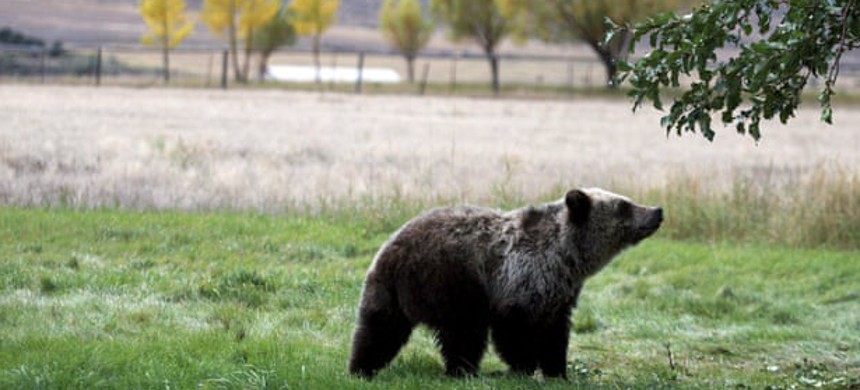 A grizzly bear cub in Yellowstone National Park. (photo: Alan Rogers/AP)