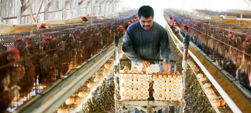 A farmworker at an egg farm in San Diego, California, on November 6, 2014. California voters passed an animal welfare law in 2008 to require that the state's egg-laying hens be given room to move around, but did not provide the funds for farmers to convert. (photo: Melanie Steton Freeman/Getty)
