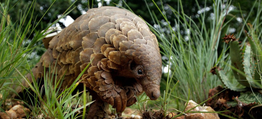 'Researchers hope Ghost will provide an insight into the habits of pangolins, an elusive species whose numbers have declined because of wildlife trafficking.' (photo: Tounesna)