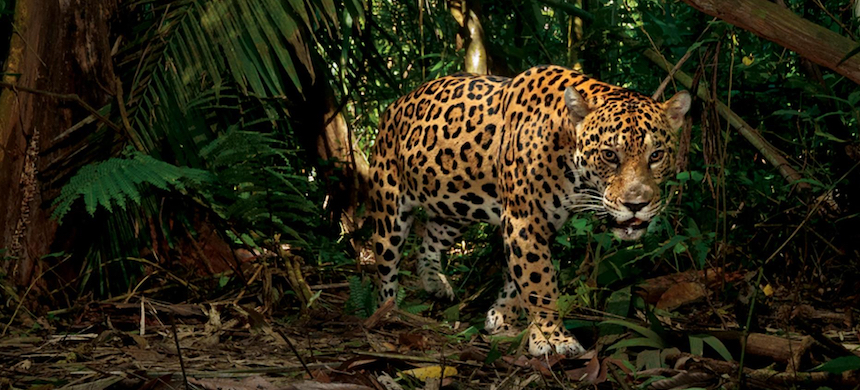 A jaguar. (photo: Steve Winter/National Geographic)
