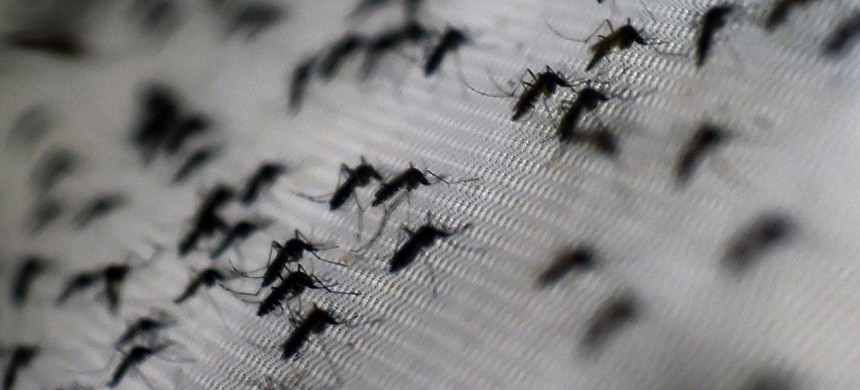 Aedes aegypti mosquitoes. (photo: Christophe Simon/Getty)