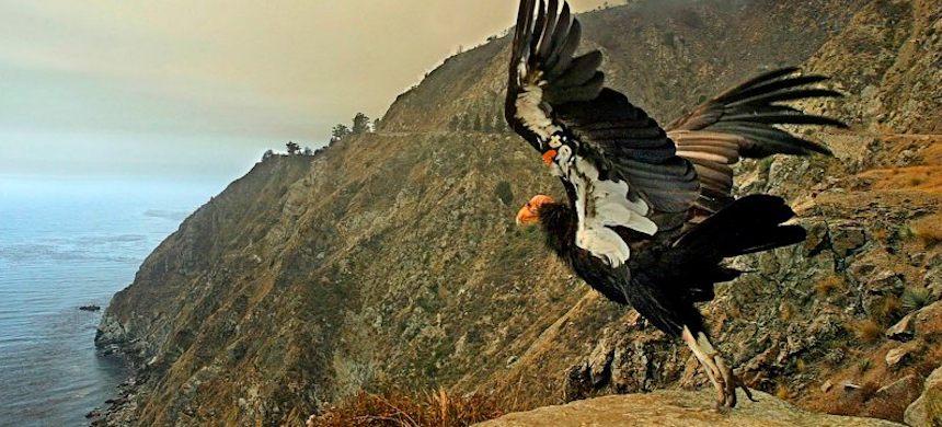 With the Big Sur Basin Complex Fire burning in the background, a California condor takes off along a deserted highway. (photo: Orville Myers/Monterey County Herald)