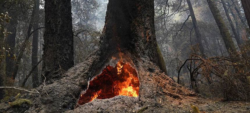 Fire burns in the hollow of an old-growth redwood tree in Big Basin Redwoods State Park, California, Aug. 24, 2020. (photo: Marcio Jose Sanchez/AP)