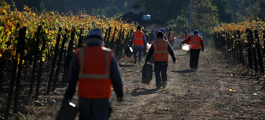 Field workers with Palo Alto Vineyard Management prepare to harvest Syrah grapes on Oct. 25, 2017, in Kenwood, California. (photo: Justin Sullivan/Getty Images)