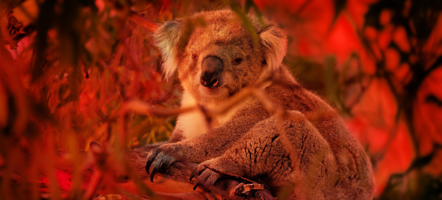 The koala is being considered for official listing as endangered. (photo: Getty)