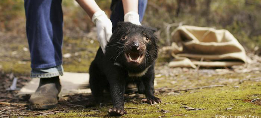 Tasmanian devil. (photo: Getty Images)
