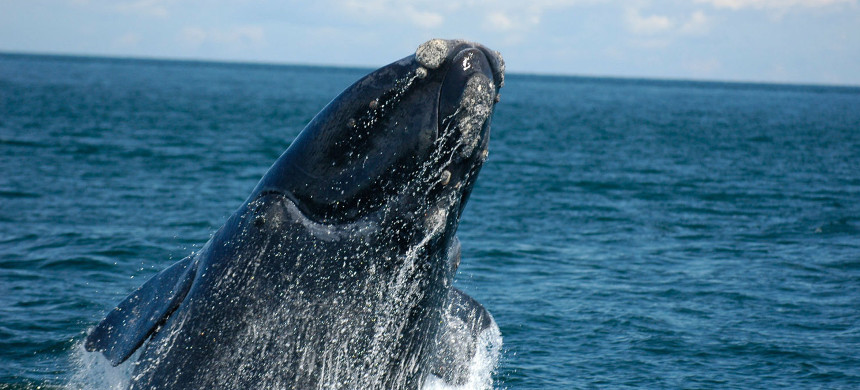 North Atlantic right whale. (photo: NOAA)
