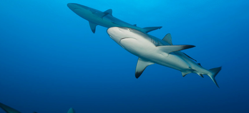 Grey reef sharks, seen in Fiji, are among the top species of sharks fished for their liver oil. (photo: Reinhard Dirscher/Getty)
