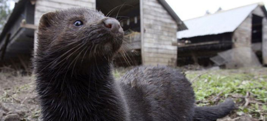 Thousands of mink bred in fur farms in Utah and Wisconsin have now died form Covid-19. (photo: AP)