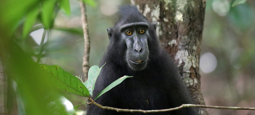 A crested black macaque. (photo: Rhett A. Butler/Mongabay)