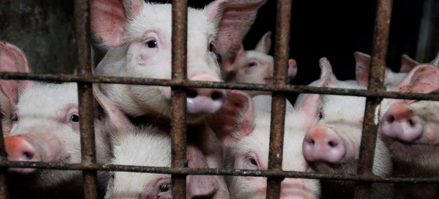 There's a pandemic risk lurking on factory farms in the US. (photo: Shutterstock)