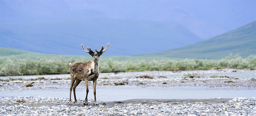 A caribou in the Arctic National Wildlife Refuge. (photo: Danielle Brigida/EcoWatch)