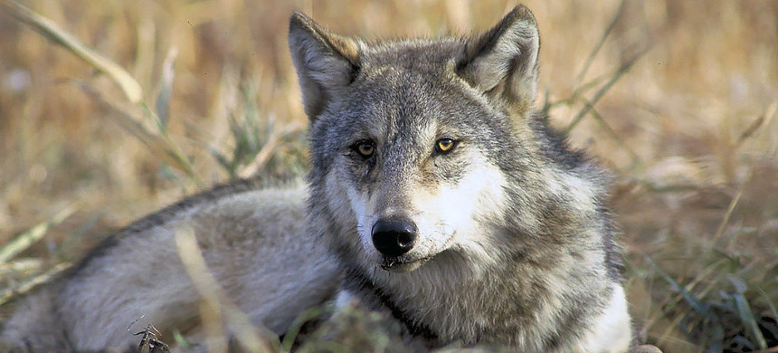 Gray wolf in Yellowstone National Park, Wyoming. (photo: John and Karen Hollingsworth/United States Fish and Wildlife Service)