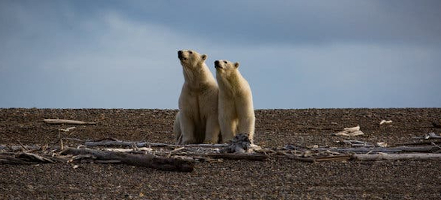 Polar bears in the Arctic National Wildlife Refuge. (photo: Josh Haner/NYT)
