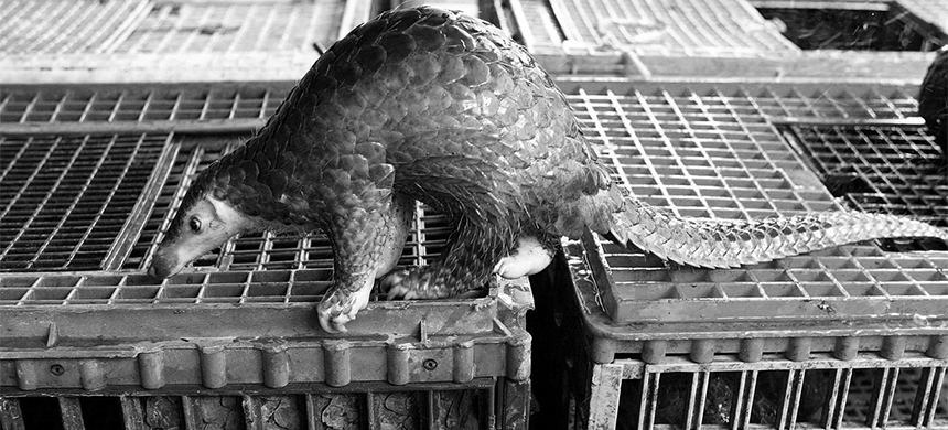 Pangolins. (photo: Jimin Lai/AFP/Getty Images)