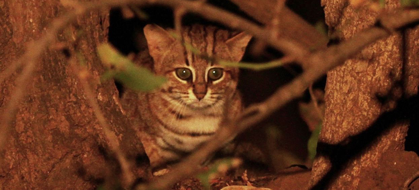 A rare rusty-spotted cat is spotted in the wild in 2015. (photo: David V. Raju/Wikimedia Commons)