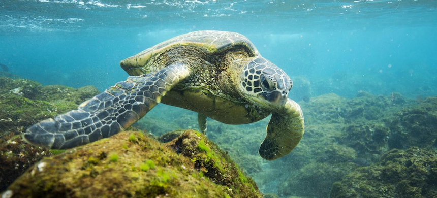 A sea turtle. (photo: Lee Gillinwater/Pew Charitable Trusts)