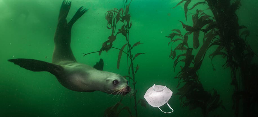 A California sea lion comes across a discarded face mask in Monterey, Calif. Many types of masks contain plastics that taint ocean ecosystems and disrupt marine food chains. (photo: Ralph Pace/WP)