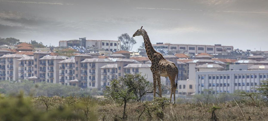 A giraffe in the Nairobi National Park with the Nairobi skyline in the background in Nairobi, Kenya on Sept. 27, 2017. (photo: Buena Vista Images/Stone/Getty Images)