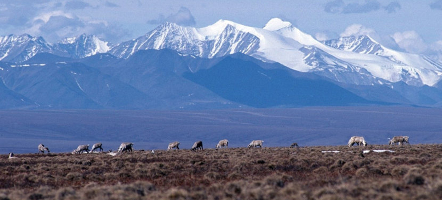 Caribou graze on the coastal plain of the Arctic National Wildlife Refuge, with the Brooks Range as a backdrop. (photo: USFWS)