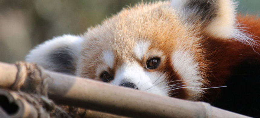 While they may look similar to indiscriminate raccoons, endangered red pandas (Ailurus fulgens) are specialists and eat mostly bamboo. (photo: Rhett Butler/Mongabay)