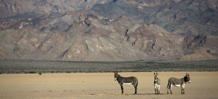 Shown is a 2014 photo of wild burros in the Silurian Valley, which is part of the Desert Renewable Energy Conservation Plan that President Trump sought to revise in the last days of his term. President Biden can halt the changes. (photo: Los Angeles Times)