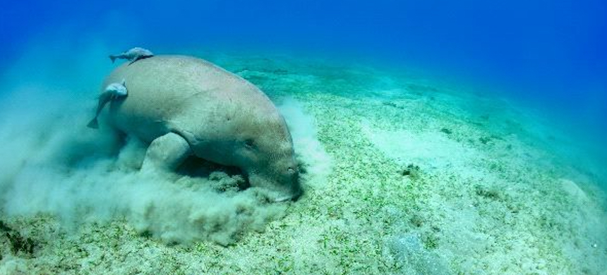 A manatee eating seagrass. (photo: Vicky Hager)