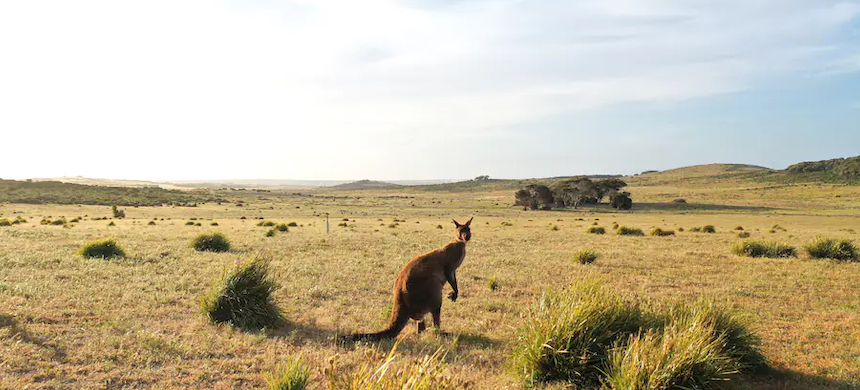 A kangaroo on Kangaroo Island, which is showing signs of recovery a year after the bushfire. (photo: South Australia Tourism Commission)